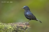 White-tailed Robin
