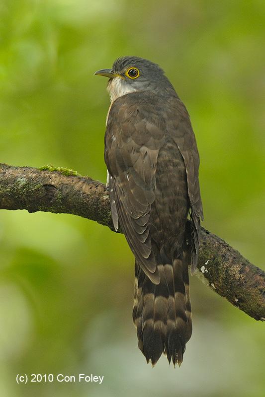 Dark Hawk Cuckoo
