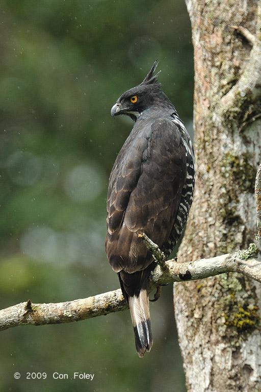 Blyth's Hawk Eagle