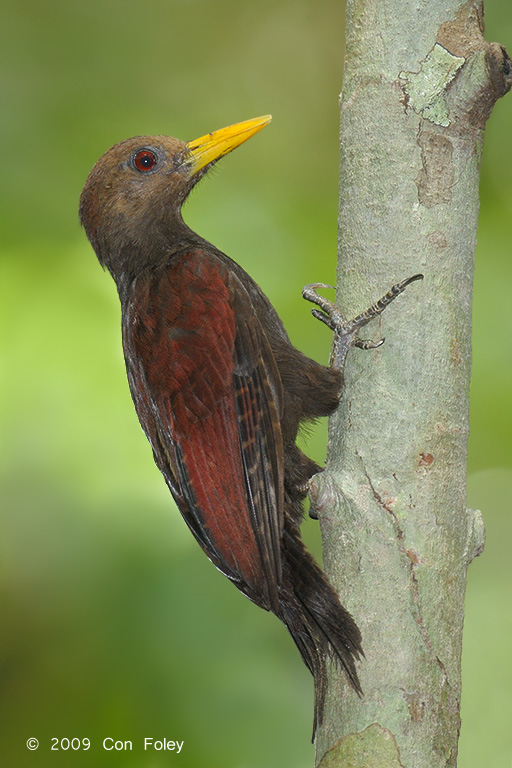 Maroon Woodpecker