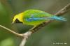 Blue-wing Leafbird