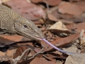 Clouded Monitor Lizard f/4 1/4000s