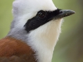 White-crested Laughingthrush TC14 f/5.6 1/60s