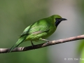 Greater-green Leafbird TC14 f/5.6 1/500s