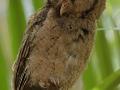 Sunda Scops Owl f/4 1/250s