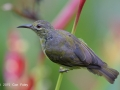 Brown-throated Sunbird f/4 1/500s
