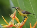Olive-backed Sunbird f/5.6 1/500s