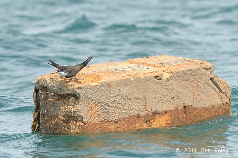 Bridled Terns