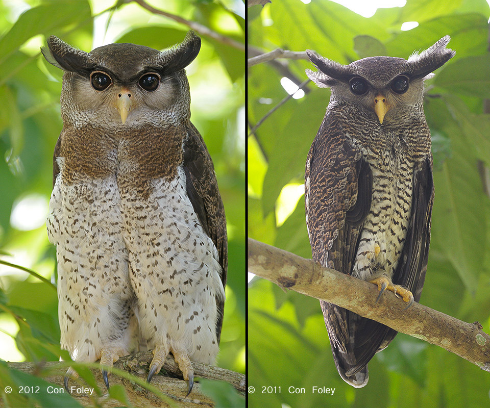 Barred Eagle-Owl (female & male)