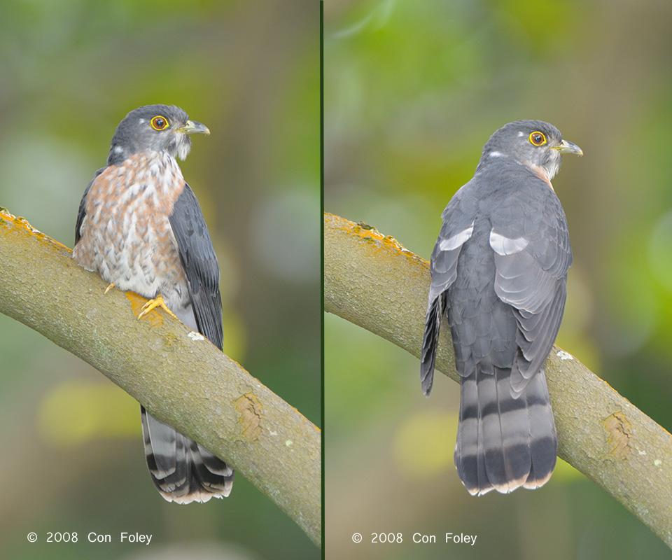 Hodgson's Hawk Cuckoo (adult)