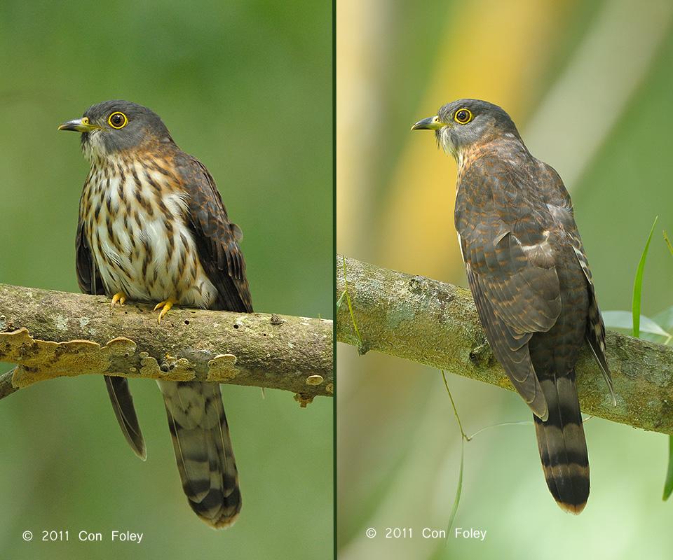 Hodgson's Hawk Cuckoo (juvenile)