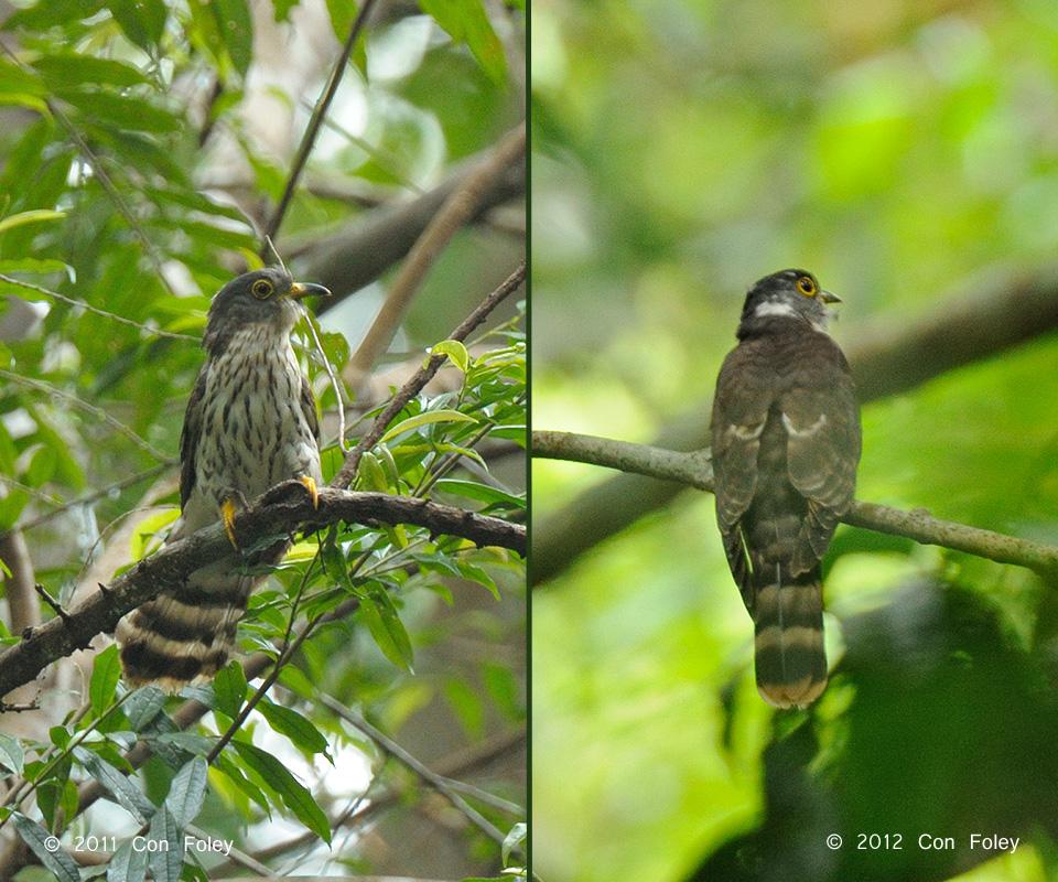 Malaysian Hawk-Cuckoo (adult)