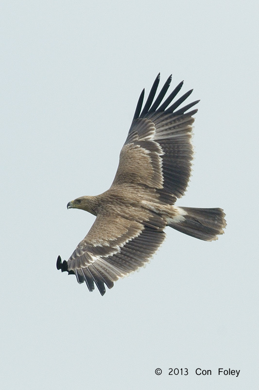 Eastern Imperial Eagle (juvenile)