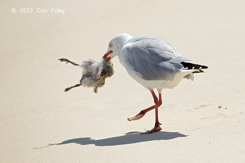 Silver Gull (with dead chick)
