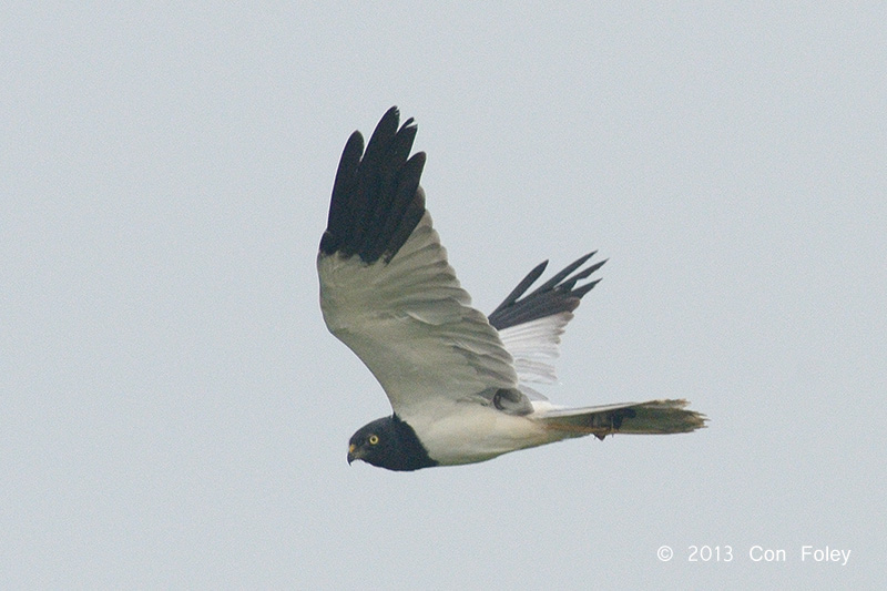 Pied Harrier (male)