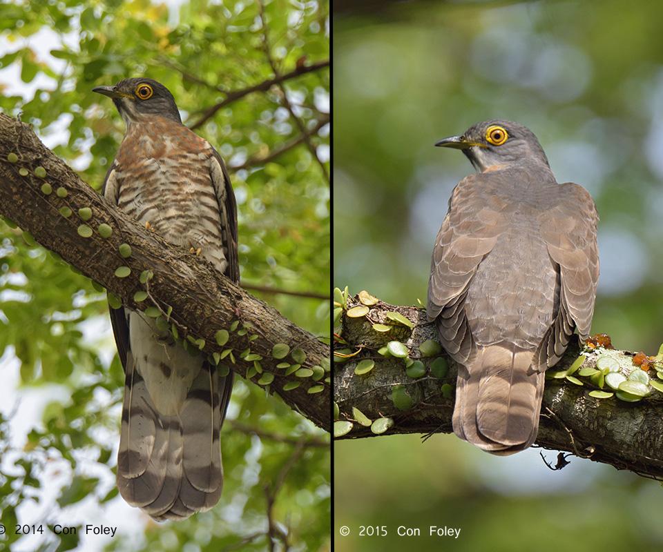 Large Hawk Cuckoo (adult)
