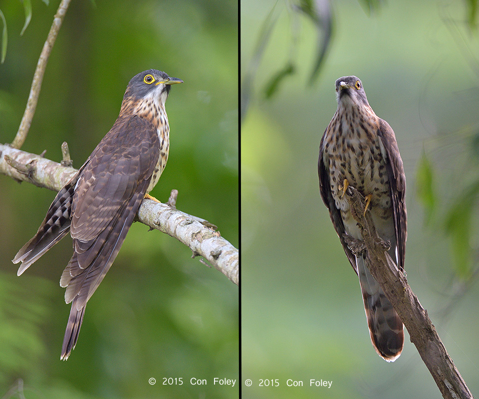 Large Hawk Cuckoo (sub adult)