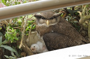 Barred Eagle-Owl (female & chick) - day 14