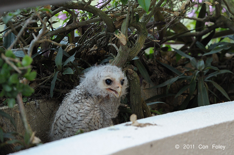 Barred Eagle-Owl (chick) - Day 27