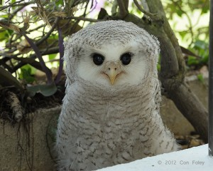 Barred Eagle-Owl (chick) - day 50