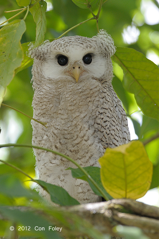 Barred Eagle-Owl (fledgling) - Day 2
