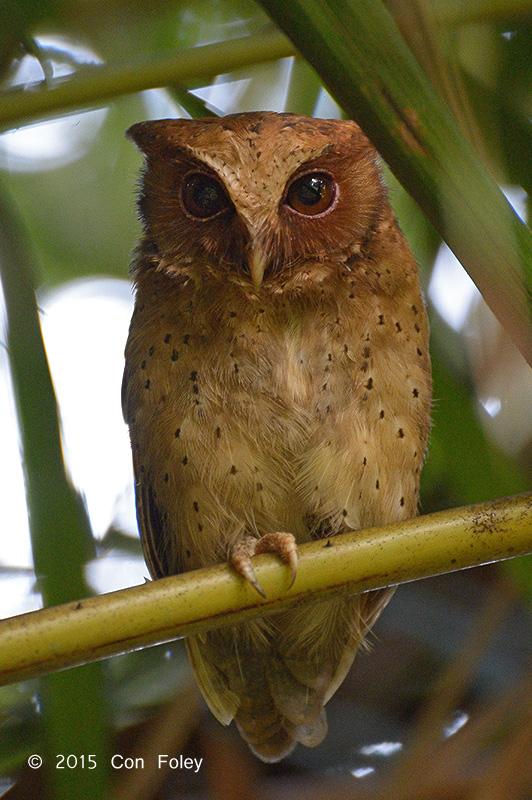 Reddish Scops Owl
