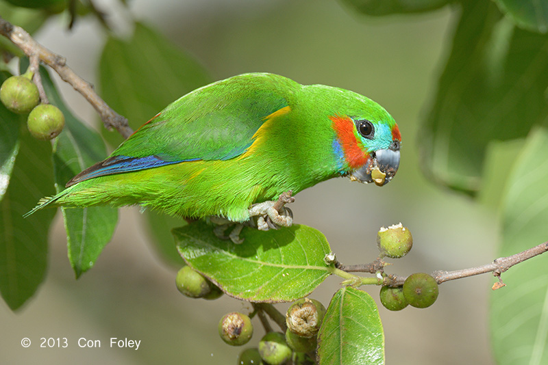 Double-eyed Fig Parrot (male)
