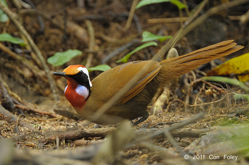 A recent Rail-babbler sighting