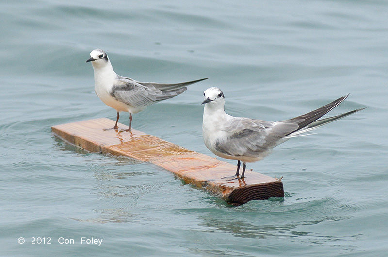White-winged Tern (left) Aleutian Tern (right)