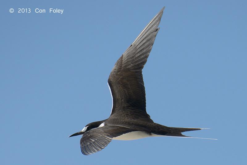 Sooty Tern (adult)