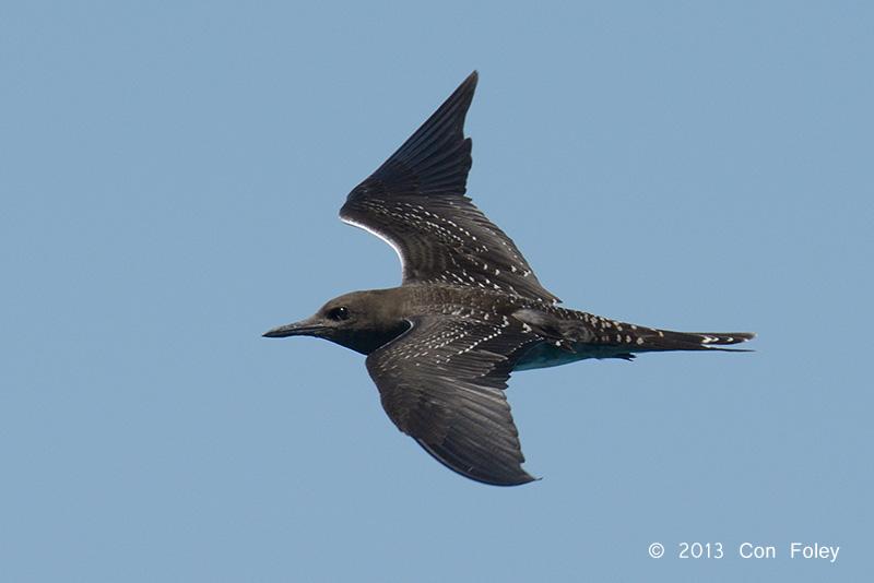 Sooty Tern (juvenile)