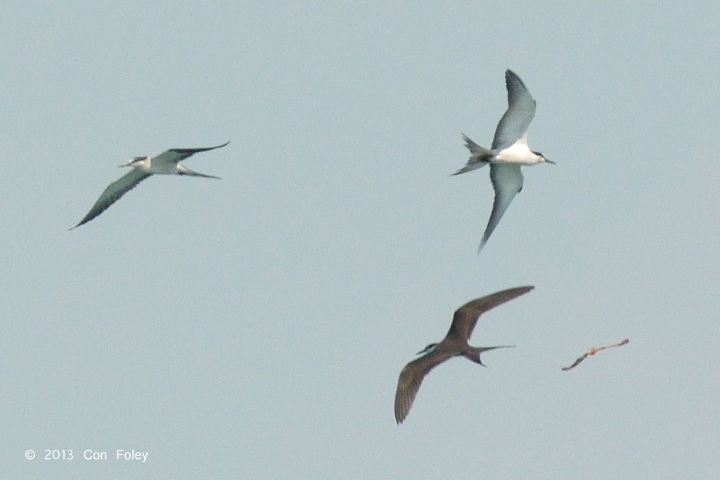 Brideld Terns & Atlas Moth