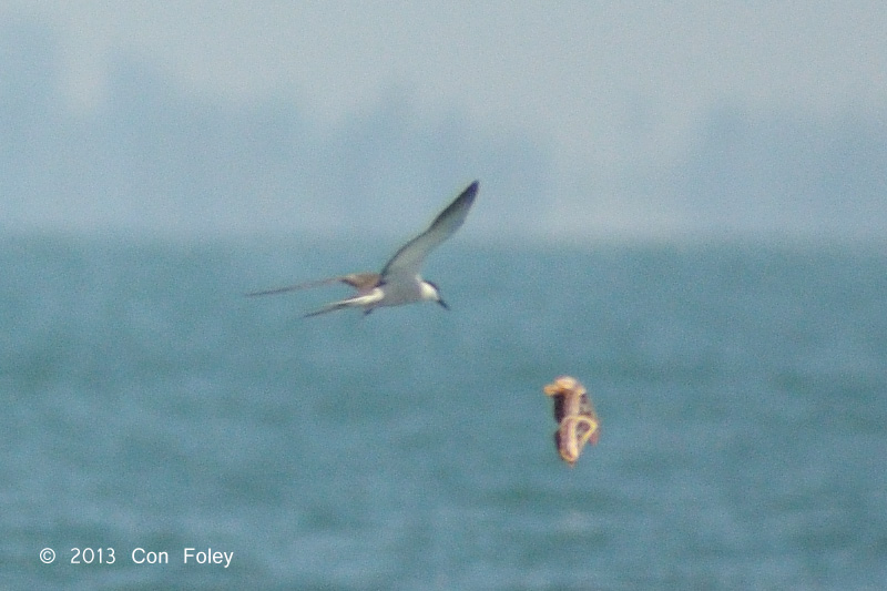Bridled Tern & Atlas Moth