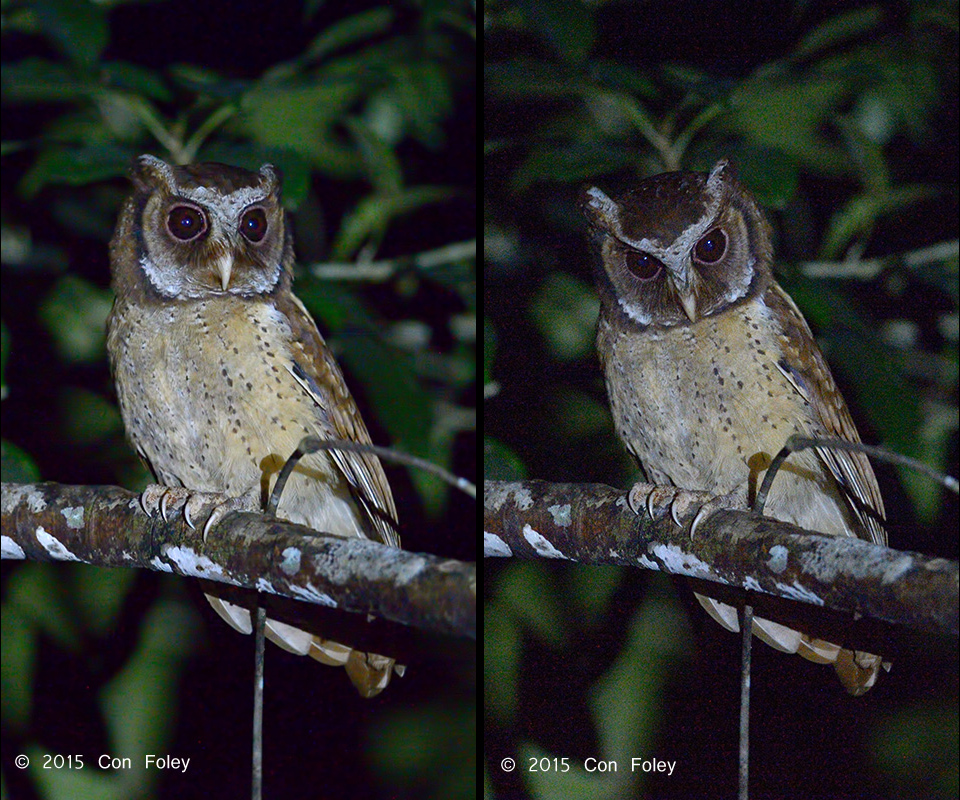 White-fronted Scops Owl (Johor)