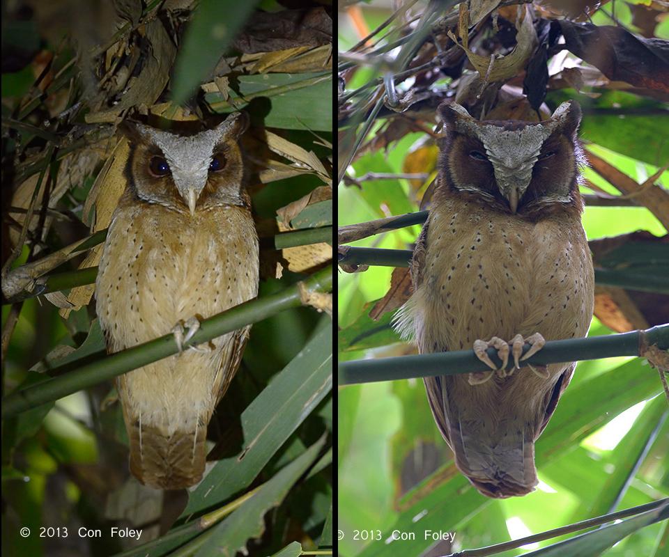 White-fronted Scops Owl (Kaeng Krachan)
