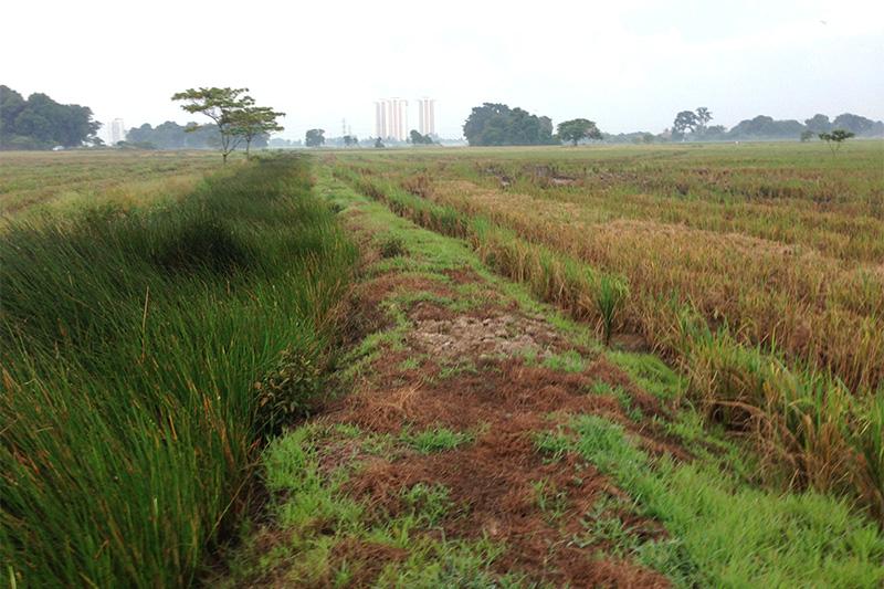 Batang Tiga paddyfield