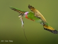 Red-bearded Bee-eater (with lizard)