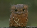 Javan Frogmouth (female)