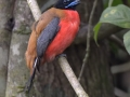 Cinnamon-rumped Trogon (male)