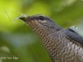 Lesser Cuckooshrike TC14 f/5.6 1/250s