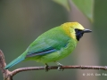 Blue-winged Leafbird TC14 f/5.6 1/80s