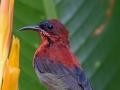 Crimson Sunbird TC14 f/5.6 1/400s