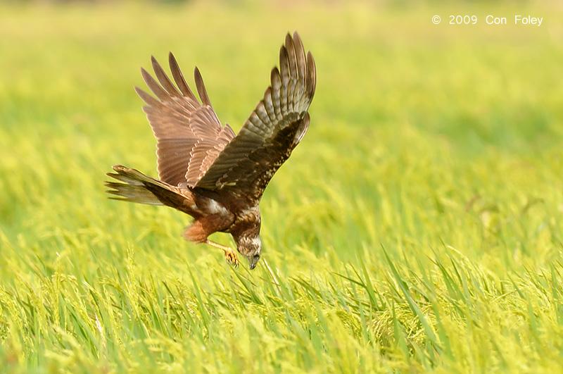 Eastern Marsh Harrier
