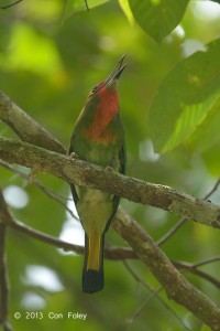 Red-bearded Bee-eater (female sub adult)