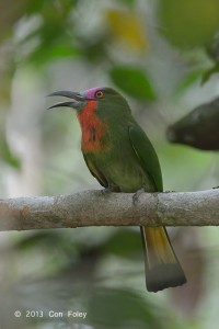 Red-bearded Bee-eater (male sub adult)