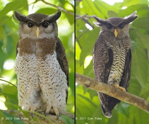 Barred Eagle-Owl (female & male)