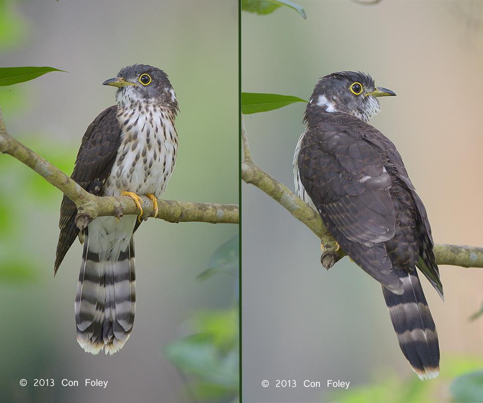 Malaysian Hawk Cuckoo (juvenile)