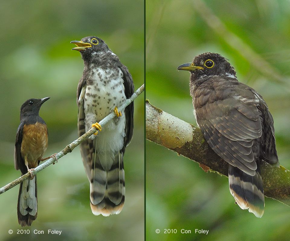 Malaysian Hawk Cuckoo (fledgling)