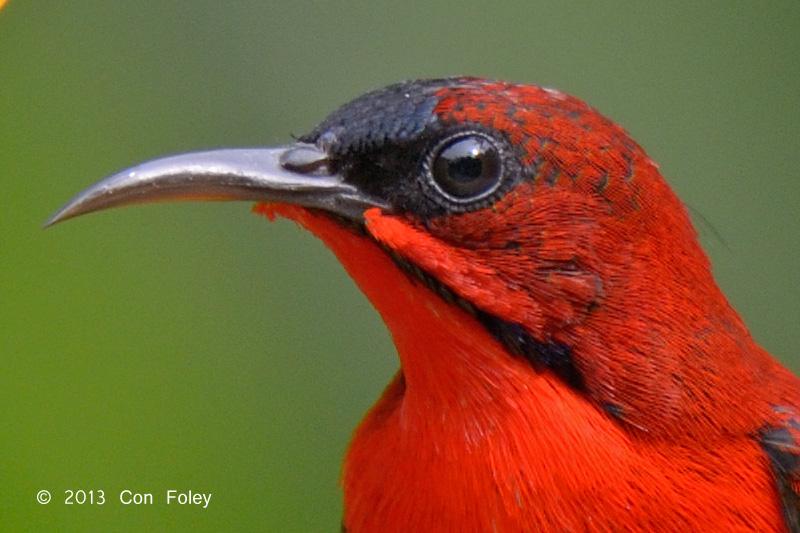 Crimson Sunbird 100% Crop