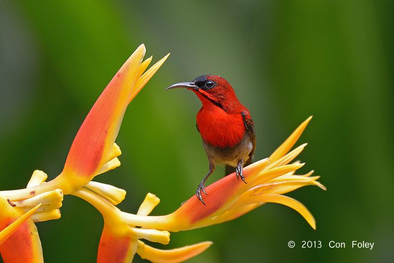 Crimson Sunbird @400mm